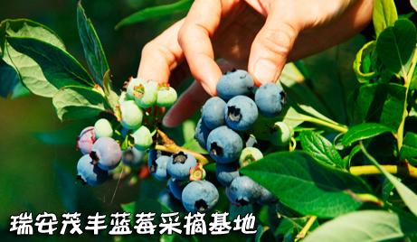 【瑞安】仅需88元/人,即可享受原价100元/人的温州瑞安茂丰蓝莓采摘基地蓝莓采摘成人门票一张!随摘+随吃+外带自摘蓝莓(约2斤),绿色种植有机蓝莓,粒大饱满,口感酸甜,芳香四溢,好吃到根本停不下来!