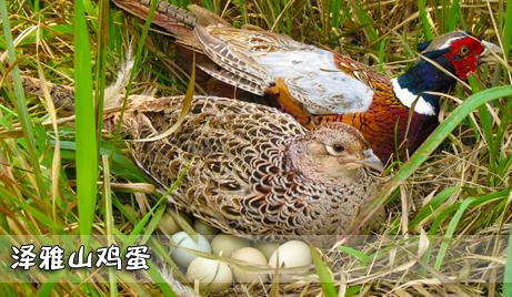 【泽雅】仅需100元即可获得原价130元的泽雅山鸡蛋礼盒装一盒(48枚装)!蛋中珍品,回归自然!纯天然放养,高营养,无污染,让您吃得放心,吃得健康!