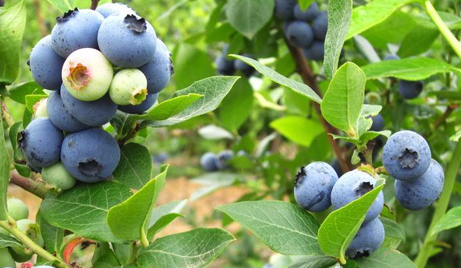 【永嘉】仅需20元,即可享受原价25元的永嘉巨俊农庄蓝莓采摘儿童门票一张,绿色种植、无公害产品、现场可以随摘、随吃。让大手牵着小手,感受自然美景,享受酸酸甜甜的美味,让味蕾无尽的跳跃。