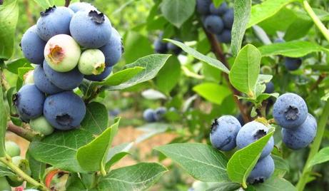 【永嘉】仅需88元,即可享受原价110元的永嘉巨俊农庄蓝莓采摘成人门票一张,绿色种植、无公害产品,现场可随摘、随吃还能外带自摘蓝莓(外带1斤)。感受田园风光,享受酸甜可口的蓝莓滋味,为你的生活增添一分趣味!